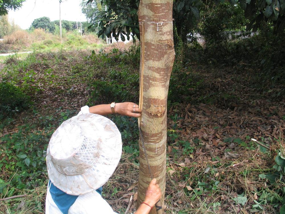 Mulberry (Thailand) - Moerbei boomIn het noorden van Thailand groeit een bijzondere boom: de Mulberry (moerbei) boom. Het bijzondere is dat de bast van de boom na het regenseizoen eenvoudig afgepeld kan worden waarna die direct weer aangroeit. Deze eigenschap werd honderden jaren geleden ontdekt door de Karen-stam die in het uiterste noorden van Thailand woont.