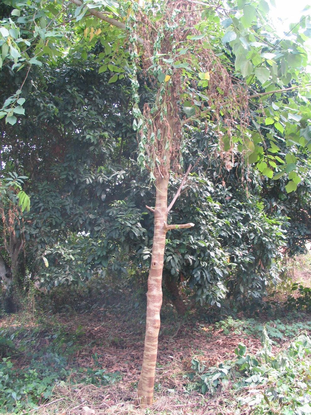 Mulberry Tree 001.jpg