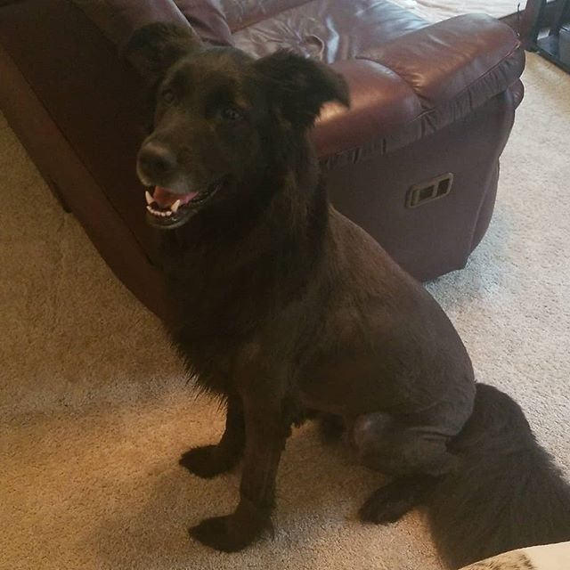 #thatmomentwhen #Bandit gets a new #haircut, as mentioned during today's #episode of #aia featuring author Richard C. White! . #dogsofinstagram #dogsofig #germanshepherdsofig #germanshepherdsofinstagram #germanshepherdmix #retrieversofinstagram #retrieversofig #retrievermix #podcast #southernfriedradio #authorsinabstract