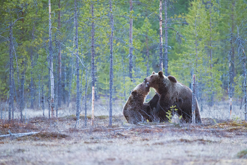 grizzly+131227s+by+amar+athwal.jpg