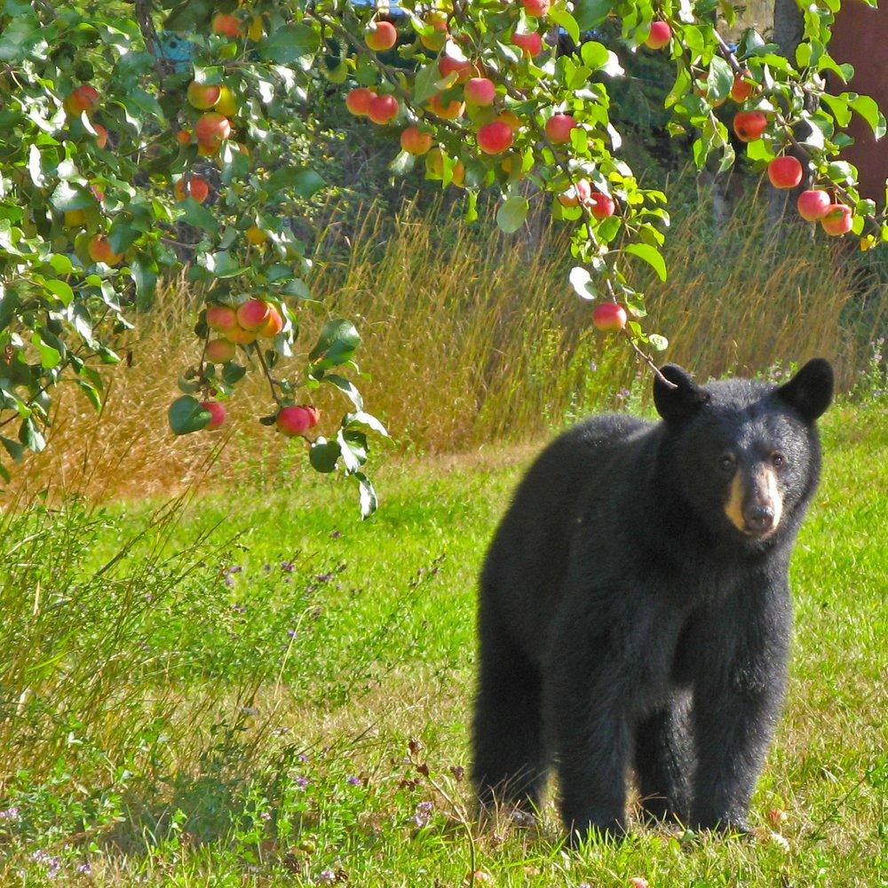 Bear+and+apple+tree+-+Louise+Williams.jpg