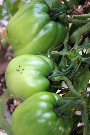green bisignano2 tomatoes