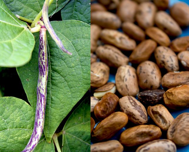 dragon tounge beans