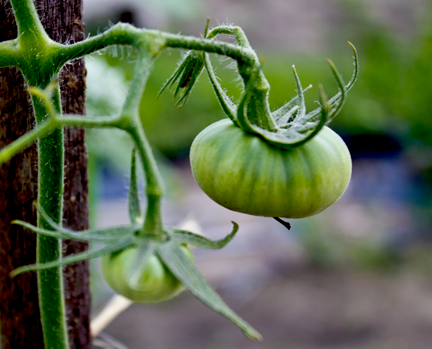 Small green tomato grafted tomato plant
