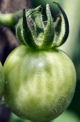 Green Wild Galápagos Tomato phot
