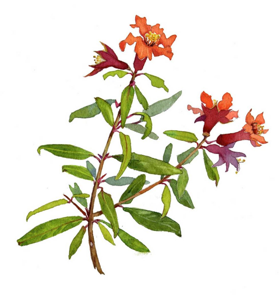 Chapman_Pomegranate-Flower-975x1030.jpg