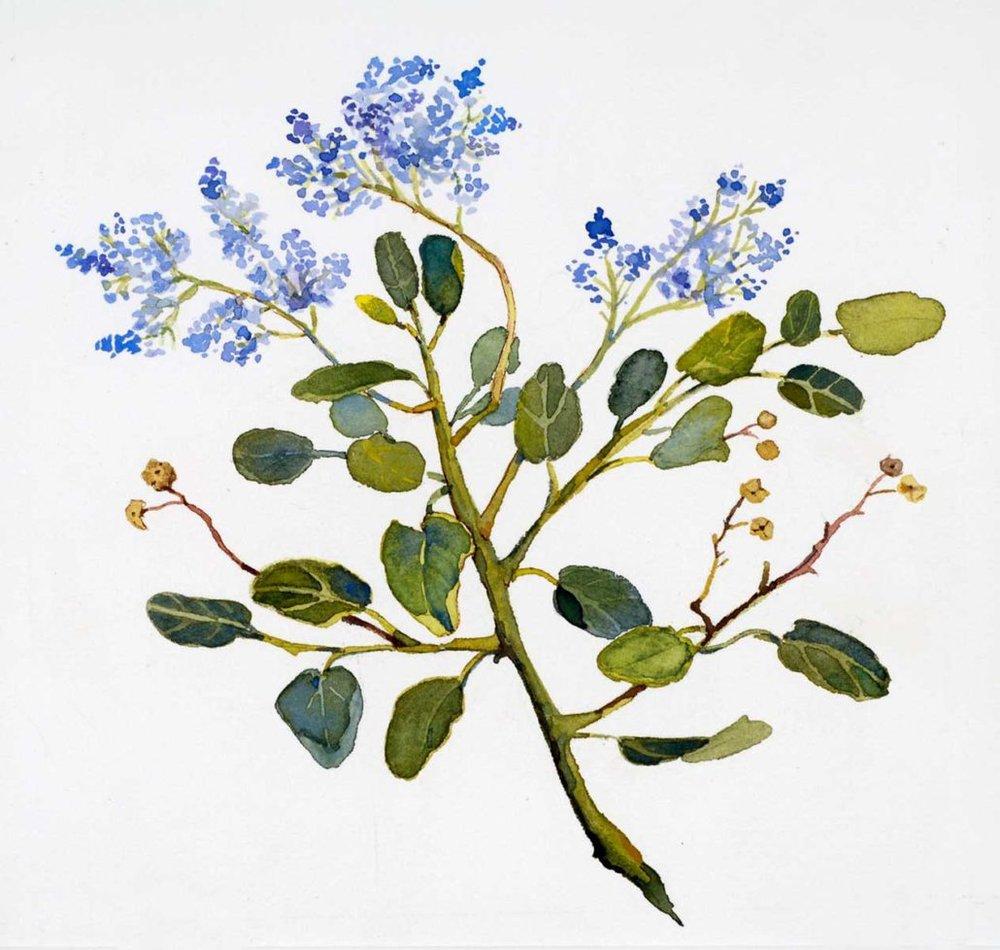 Blue Ceanothus