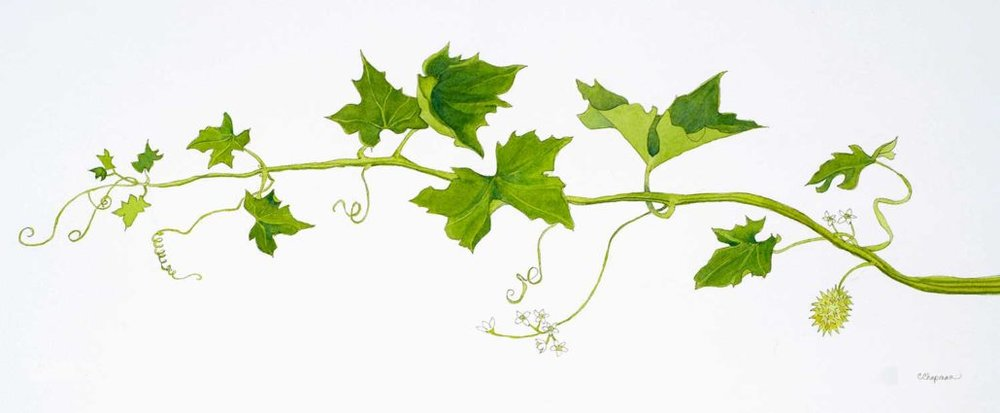 Marah Cucumber Vine