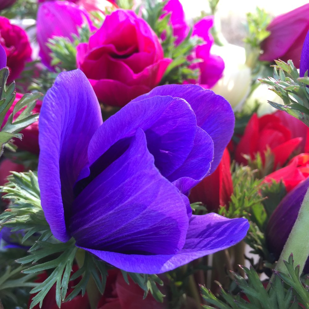 Anemones - Red, White, Purple, Blue