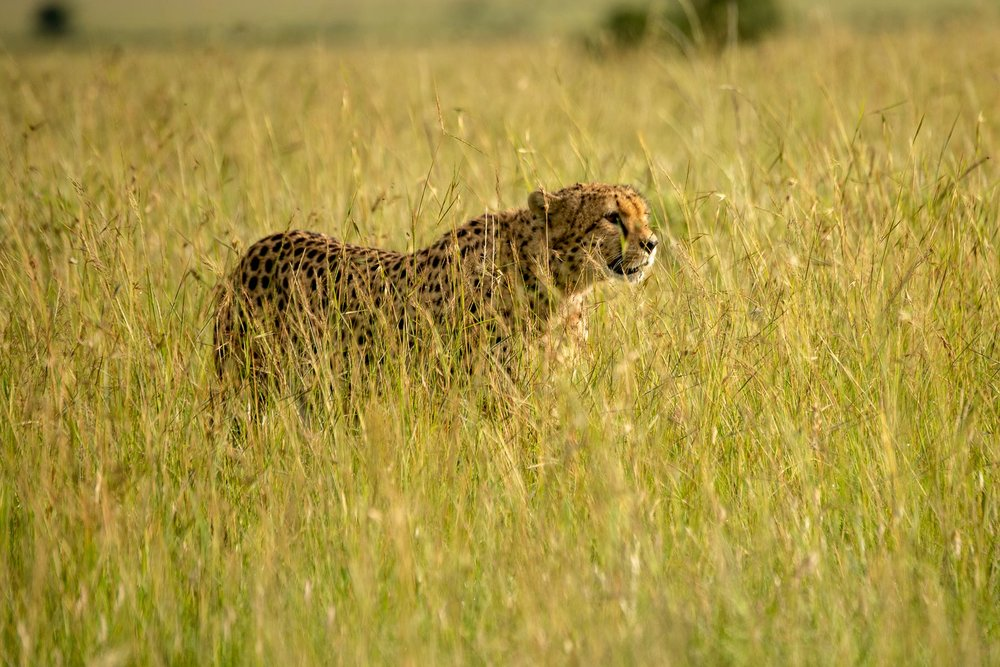 Thanks to missing my focus, here's a nice photo of some grass with a cheetah in the background.