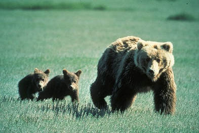 bears-718382-340.jpg