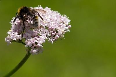 infusion-valeriane-et-abeille.jpg