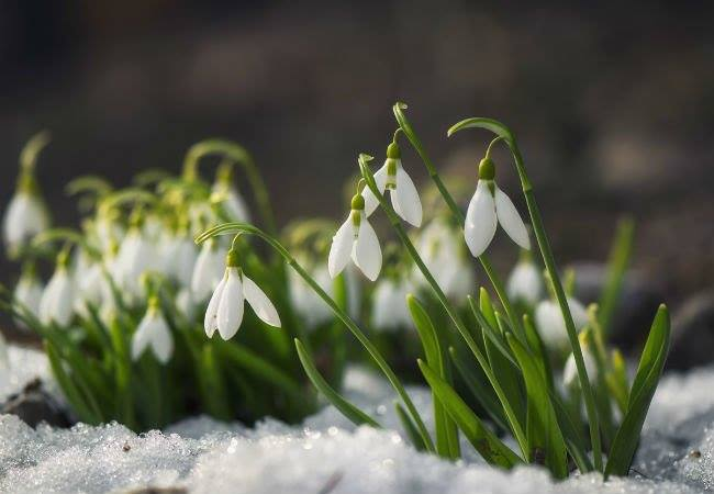 snowdrops in snow.jpg