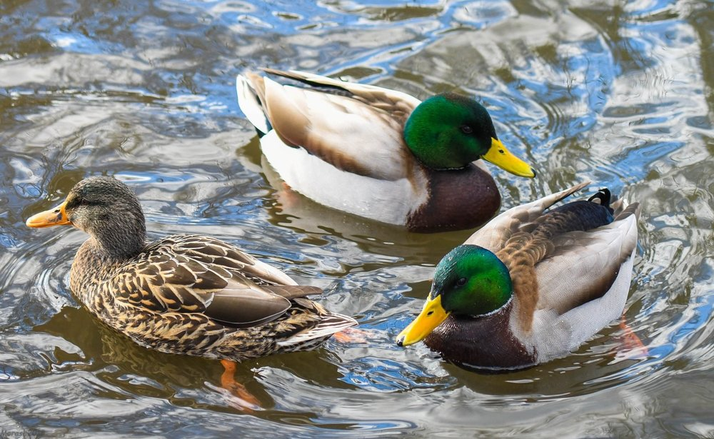 - Ducks often use our ponds. Photo by Dave Morash.
