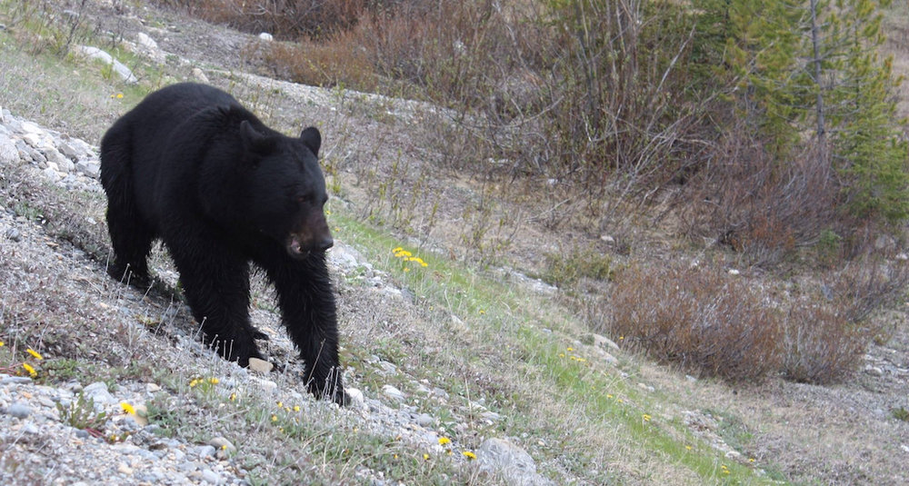 - Bears are frequently seen around the farm area