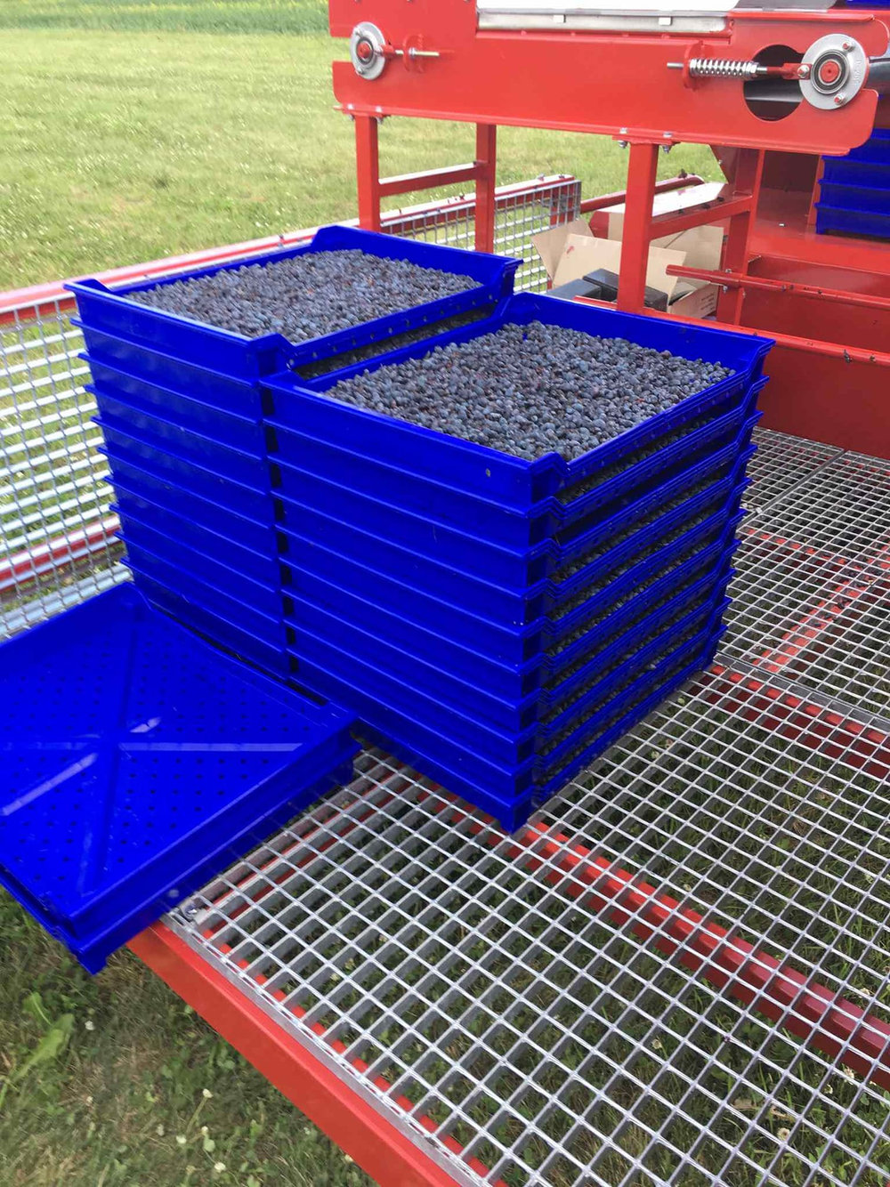 - After the berries were sorted into trays coming off the conveyor belt, they had to be washed and sorted a second time.