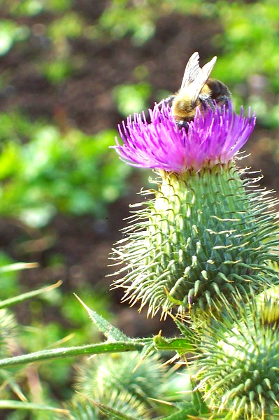 """- At the time of Alexander II, King of Scotland early in the 13th century, the Morvern area was under siege from the Vikings. The Chief of Kinlochaline was sent to a location where the enemy was expected to land. They had a long wait and MacInnes touched a nest of bees and was stung. He leaped up just in time to see the enemy landing. Calling his men to battle, they took the enemy by surprise. The Vikings were defeated by the waiting MacDonald's men who made a clean sweep of them. When the fight was over, MacDonald addressed thus: """"My blessing on you, Chieftain of Kinlochaline. Whilst MacDonald is in power, MacInnes shall be in favour."""" The Chief of Kinlochaline's answer was: """"Friendship will ever be ours, whilst the bee on the thistle is with me and with every member of the Clan MacInnes who carries the favour in his bonnet."""""""