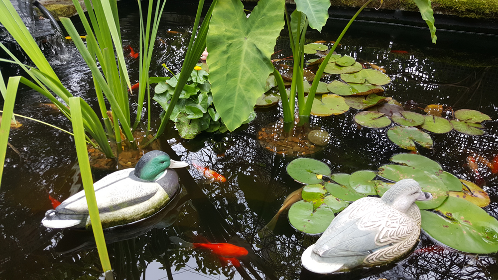 Goldfish and koi, as well as decoy ducks, thrive in this well-protected pond.