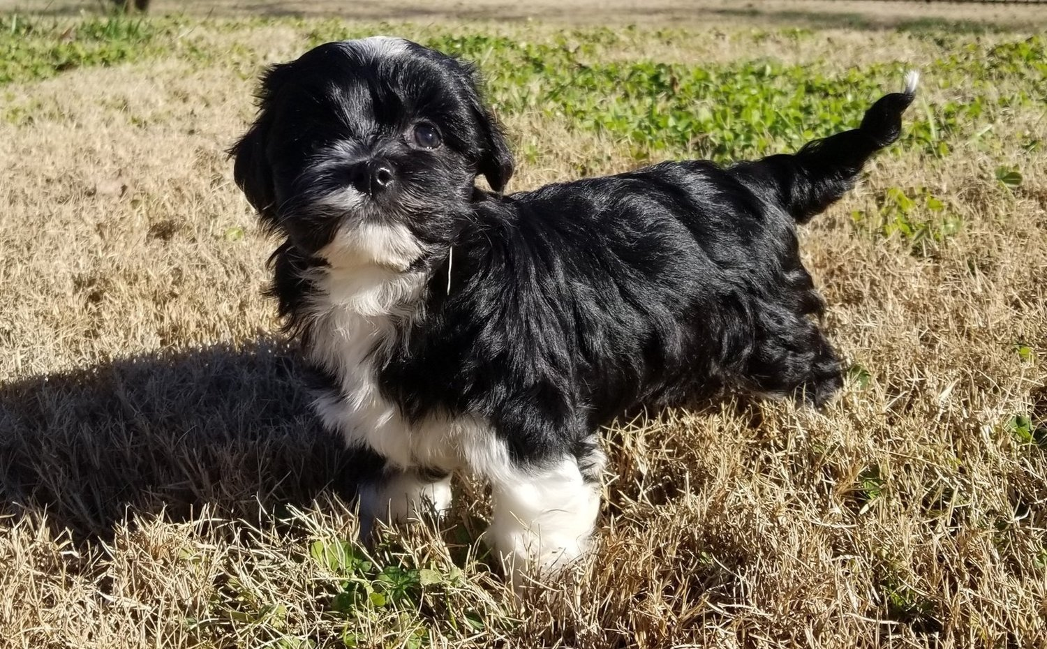 Fun Canine Charlotterock Hillyork Ncsc Puppies For Sale