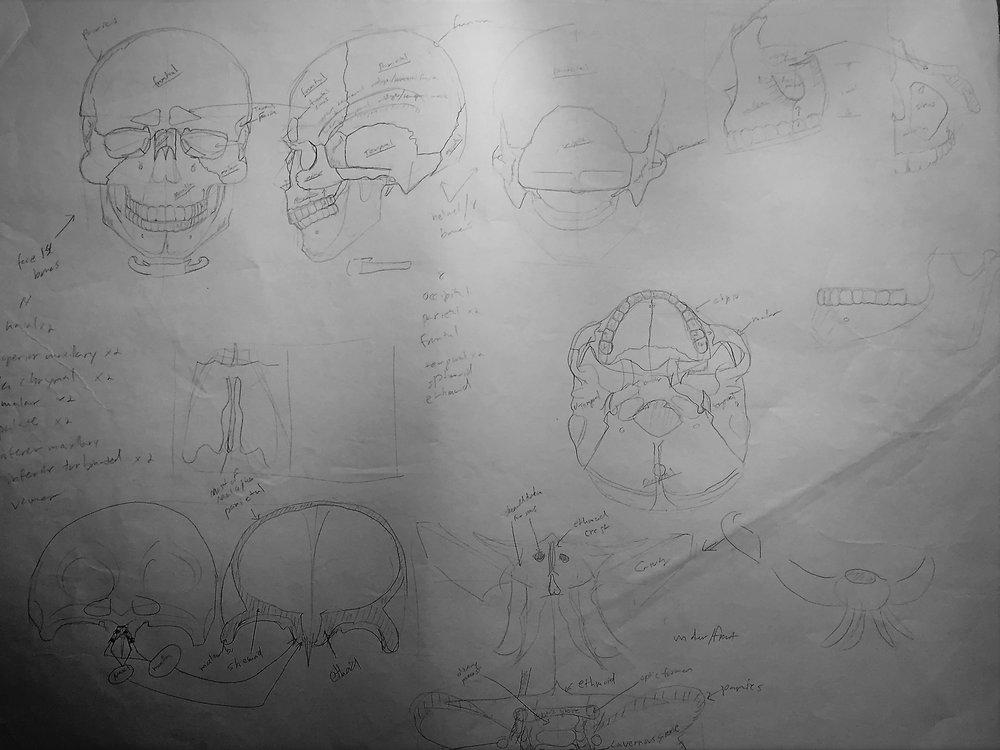 skull anatomy .jpg