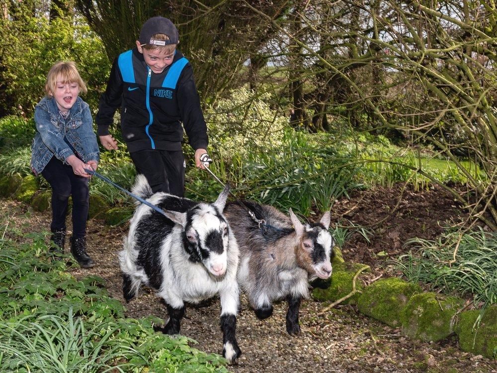 WALK GOATS - Guided goat walks through the farm led by the head farmer.