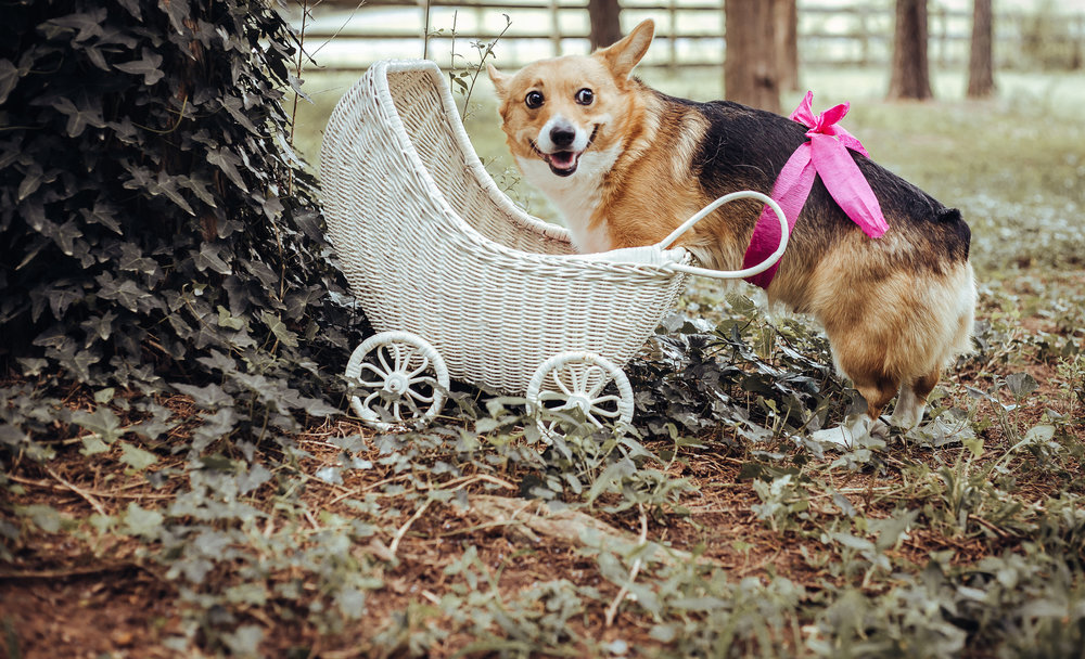 In August, my Corgi, Kaya was due to have a litter of pups. We were expecting her to have 3-5 (because her belly was pretty small)….