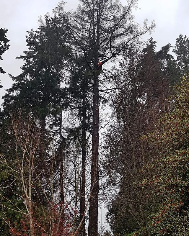 Yesterday's job, removal of a dying Fir in a heavy rain with 50mm of precipitation... That's the spirit!! #fun #removal #arborist #climbing #trees #petzl #art #abstractart #artist #vermeer #BC #treeclimber #climber #alwayshigh #420 #rain #shittonofrain #work #dirtyhandscleanmoney #almostclean