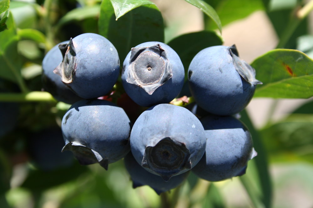 Blueberries - Only the Best, Always Fresh