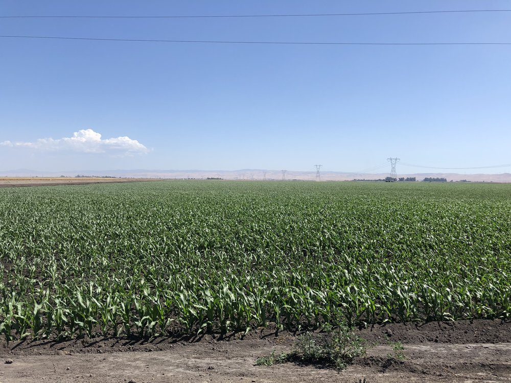 California Corn - If you plant it, it will grow