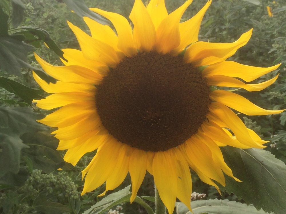sunflower2 (1).JPG