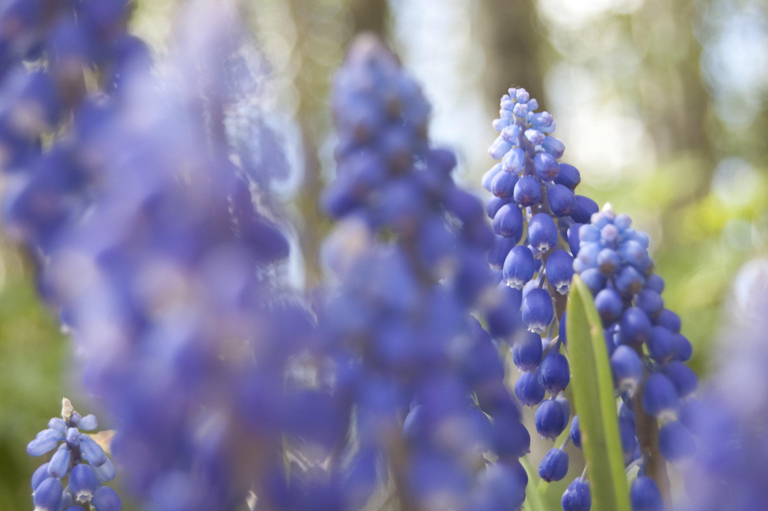 hyacinths | Angela Fehr