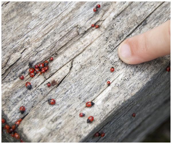 ladybugs1.jpg