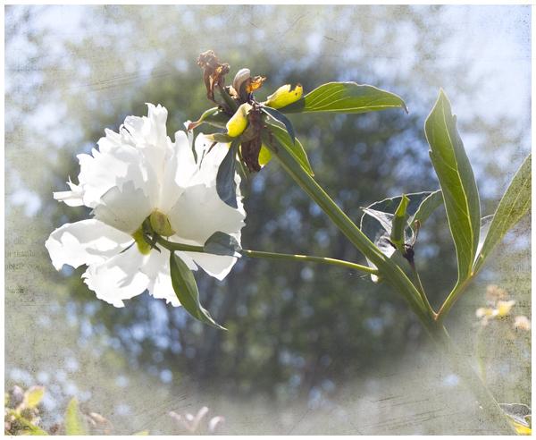 peony white | Angela Fehr