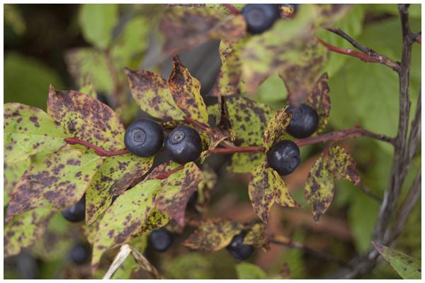berries600w2