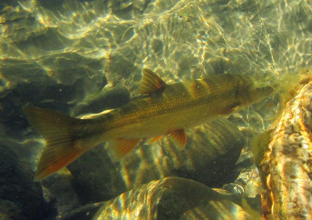 Non-Native Fish