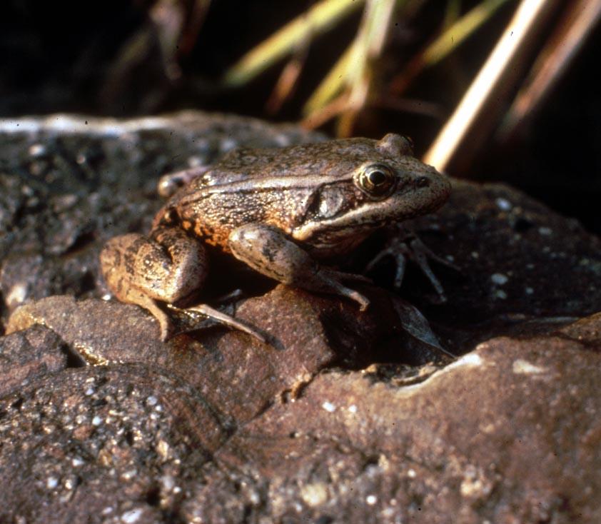 frog_red_legged.JPG