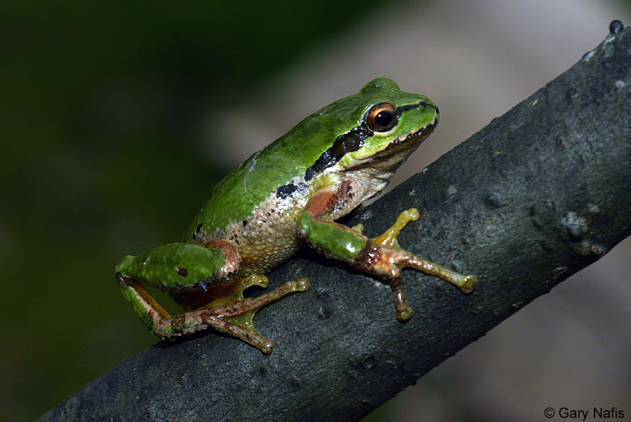 Photo by Gary Nafis from California Herps http://www.californiaherps.com