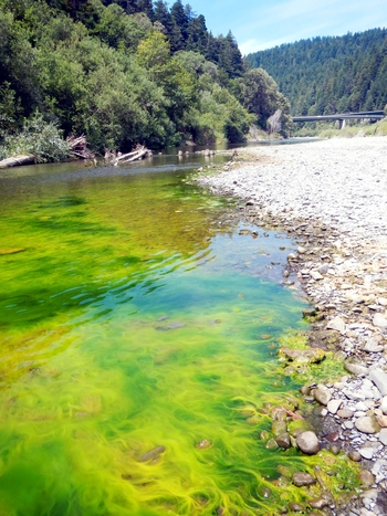 Excess Algae in the Eel River Near Dyerville