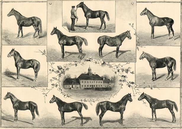 """An interesting collection of what this post- Schwaikepferd,  pre-official Trakehner calvary stock looked like. Strong angled shoulders, shorter backs, elegant expressive heads, well tied in necks with length equalling the length of the back, well boned quality legs, and what I like to call """"racing Thoroughbred"""" hind ends."""
