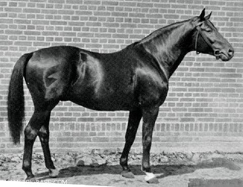 Ararad - By Jagdheld (Perfectionist xx/Jagdfreudin/Optimus (East Prussian), out of Ara (Polarstrum/Arabis/Euphony)168cm, one of the central stud´s most consistent stallions. A stallion of substance and long lines, known to be extremely strong in breeding.