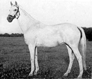 Kassette - By Harun Al Raschid ox (Hassan oa/Nigra Zcheiplitz ox/Mazud ox), out of Kasemate (Flieder/Kaiserkrone/Parsee xx). 158cm. Tall, leggy, elegant gray mare whose daughters and grand-daughters formed the Mare lines T7A1-T7A4