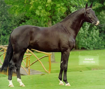 E.H. Gribaldi - (Pictured as a young horse). 172cm