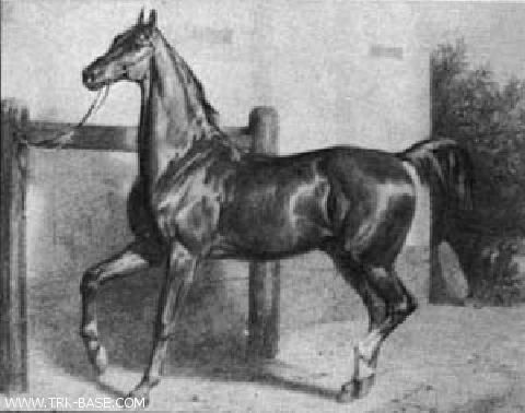 Thunderclap - By Mickle Fell xx (Caton xx/Emma xx/Whisker xx), out of Toise (Isarmo/Afanasia/Carol). 168cm. A top halfblood stallion, perhaps the best which was born in Trakehnen until 1908. Head, neck, withers, chest depth and croup; kidney not perfect. Strong legs. Hocks somewhat steep.Despite his some defects, he created a herd of Guddin mares.