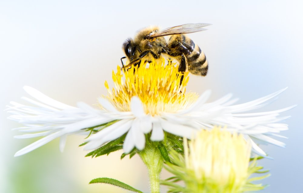 white bee picture 2.jpg