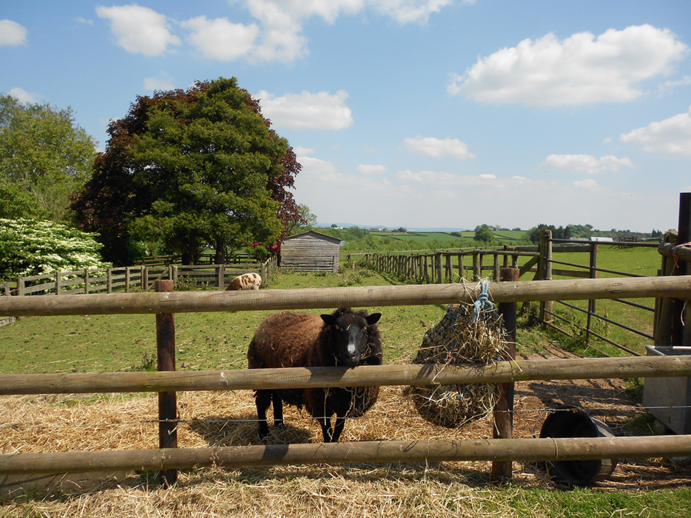 There are plenty of friendly animals waiting to meet you and your family at werngochlyn, And Many of our guests take advantage of our BHS Approved riding centre (see Activities).