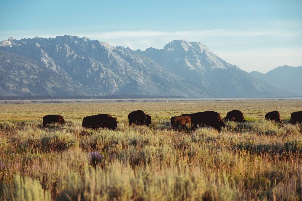Desde las Grandes Ciudades… - Hasta bisontes…