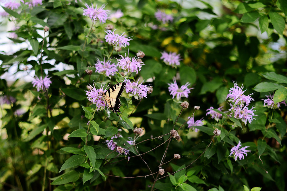 butterfly and bee balm.jpg