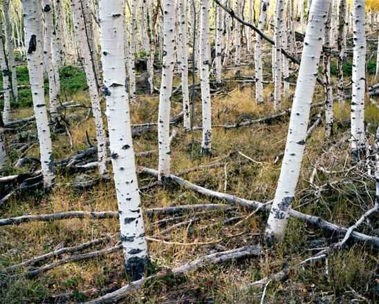 aspen roots.jpg
