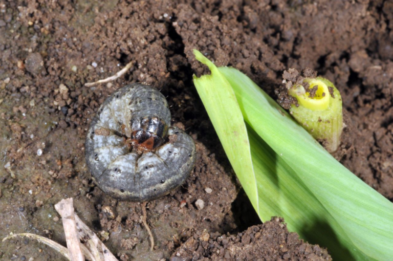Cutworm and Grub.png