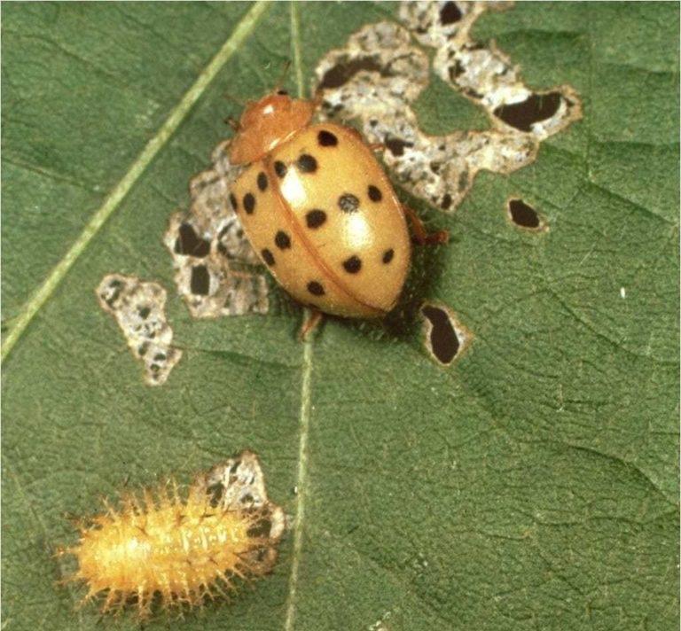 Colorado Bean Beetle
